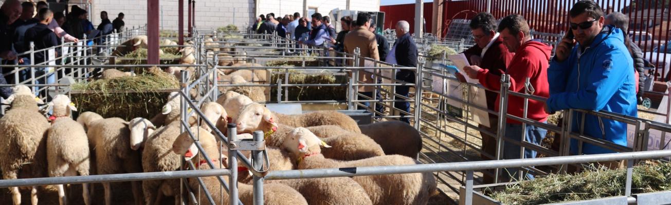 Los ganaderos observan los sementales antes de la subasta